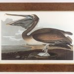 "Audubon print ""Brown Pelican (PELICANUS FUSCUS/Young first Winter)""."