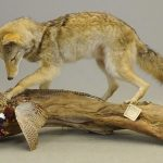 Coyote mount with pheasant