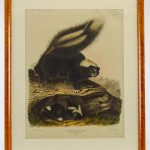 Audubon Skunk Large Antique Print